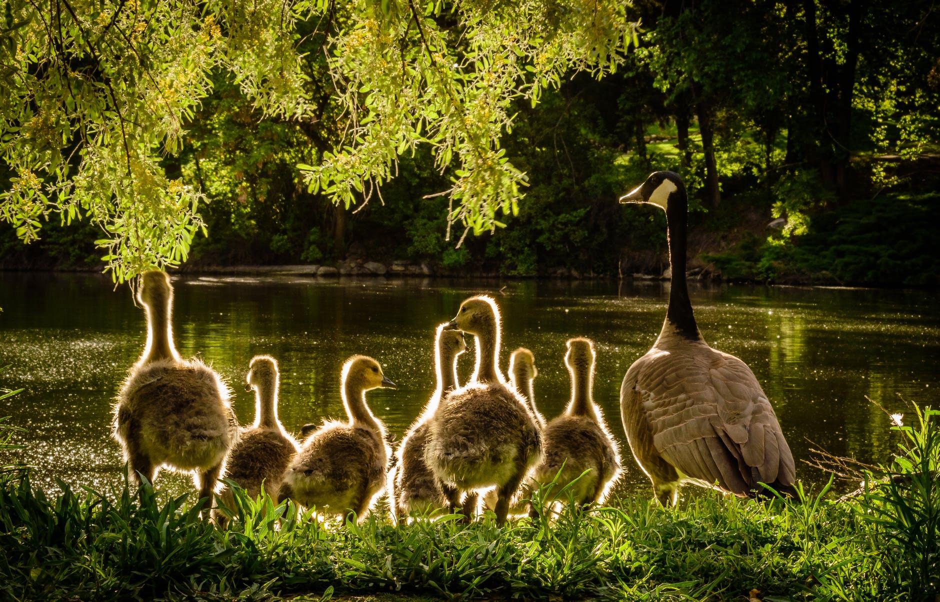 Rodzina kaczek nad wodą
