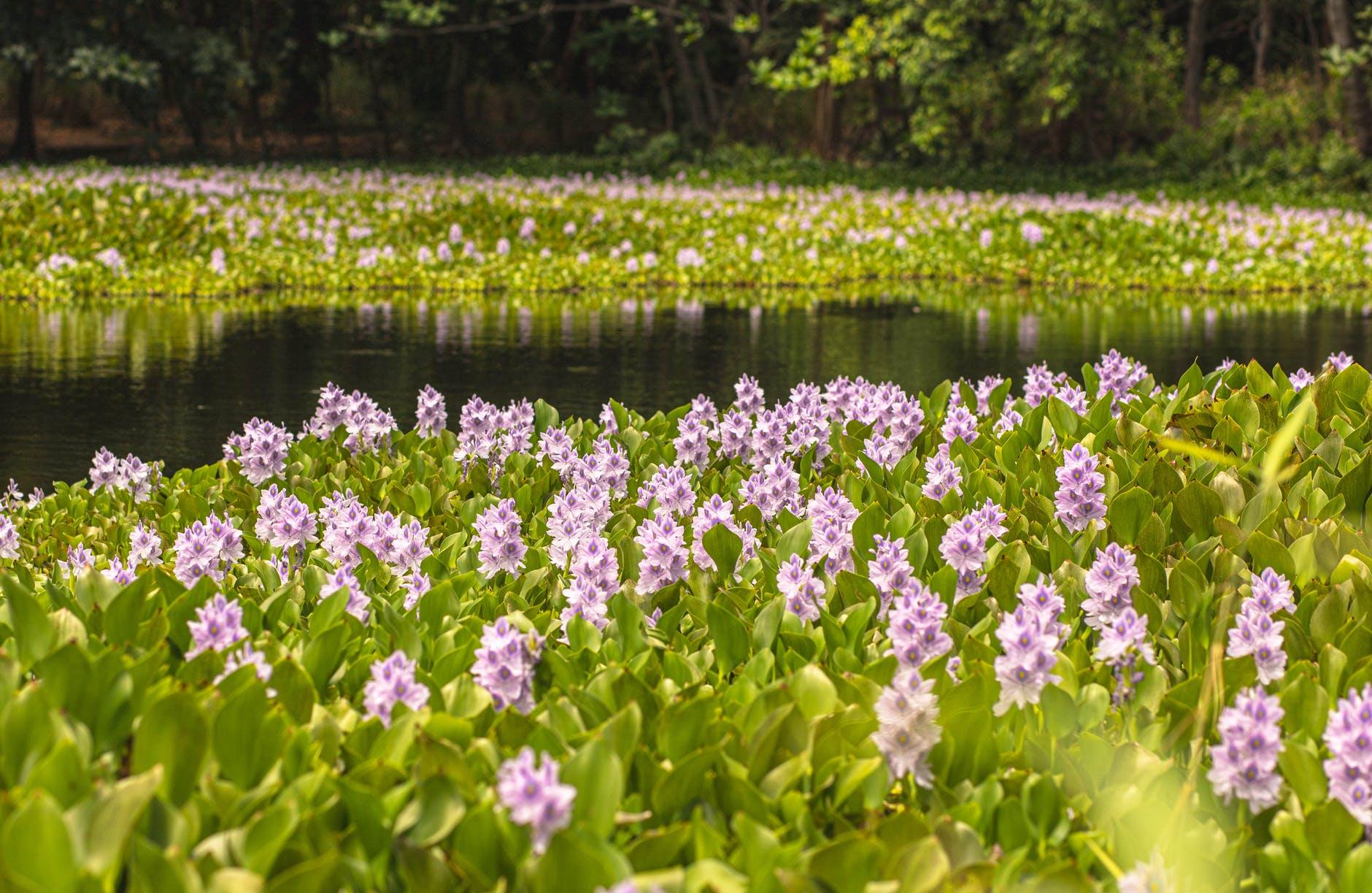 Łąka polna z różowymi kwiatami